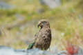 Kea, New Zealand native bird Royalty Free Stock Photography