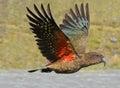 Kea - New Zealand wildlife NZ NZL Royalty Free Stock Photo