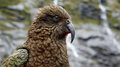 Kea parrot (Fjordland, New Zealand) Royalty Free Stock Photo