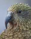 Kea Portrait Stock Photography