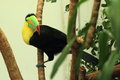 Keel-billed toucan Stock Photography