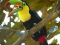Keel-billed Toucan Stock Image