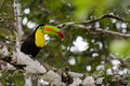 Keel billed toucan adult perched on a tree in the rainforest of belize Royalty Free Stock Images