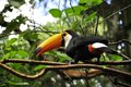Keel billed toucan in brazil forrest toucans Stock Photos