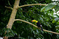 Keel billed toucan in the canopy of the rainforest of belize Stock Images