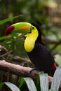 Keel billed toucan closeup of a in the rainforest of belize Royalty Free Stock Photos