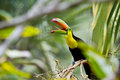 Keel billed toucan closeup of a in the rainforest of belize Stock Photography
