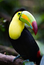 Keel billed toucan closeup of a in the rainforest of belize Stock Images