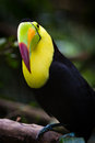 Keel billed toucan closeup of a in the rainforest of belize Stock Photo