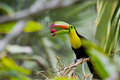 Keel billed toucan closeup of a in the rainforest of belize Royalty Free Stock Image