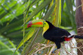 Keel billed toucan closeup of a in the rainforest of belize Stock Image
