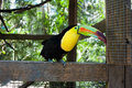 Keel billed toucan a is free to roam at macaw mountain bird park in honduras Royalty Free Stock Photo