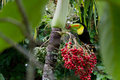 Keel billed toucan the national bird of belize perched on a palm tree Royalty Free Stock Images