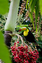 Keel billed toucan the national bird of belize perched on a palm tree Royalty Free Stock Image