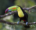 Keel billed toucan perched on a branch Stock Photos