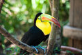 Keel billed toucan a perched at macaw mountain bird park in honduras Royalty Free Stock Images