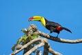 Keel billed toucan ramphastos sulfuratus bird with big bill with food in beak in habitat with blue sky costa rica america Royalty Free Stock Image