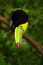 Keel-billed Toucan, Ramphastos sulfuratus, bird with big bill sitting on the branch in the forest, detail beak portrait, animal in Royalty Free Stock Photo