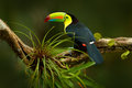 Keel-billed Toucan, Ramphastos sulfuratus, bird with big bill. Toucan sitting on the branch in the forest, Boca Tapada, green vege Royalty Free Stock Photo