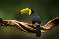 Keel-billed Toucan, Ramphastos sulfuratus, bird with big bill. Toucan sitting on branch in the forest, Guatemala. Nature travel in Royalty Free Stock Photo