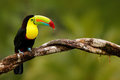 Keel-billed Toucan, Ramphastos sulfuratus, bird with big bill. Toucan sitting on the branch in the forest, Panama. Nature travel i Royalty Free Stock Photo