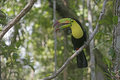 Keel billed toucan ramphastos sulfuratus single bird on branch belize Stock Images