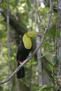 Keel billed toucan ramphastos sulfuratus single bird on branch belize Stock Photo