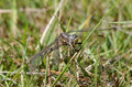 Keeled skimmer dragonfly orthetrum coerulescens teneral male Stock Image