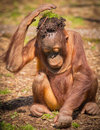 Keep cool orangutan baby tries to by placing soil vegetation on her head Stock Photo