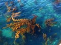 Kelp beds off santa cruz island bed of giant offshore of channel islands national park california Stock Images