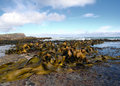 Kelp covered coast, rocks, sea Stock Photos