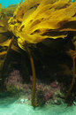 Kelp ecklonia radiata in current growing on rocky reef Royalty Free Stock Image