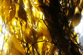 Kelp forest light shining through a Stock Photo