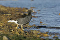 Kelp goose chloephaga hybrida single bird by water falklands Royalty Free Stock Photos