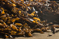 Kelp rotting on beach close up of Stock Photography