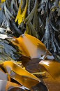 Kelp seaweed laminaria digitata and fucus serratus the brown algae oarweed or together with serrated wrack on the german north sea Royalty Free Stock Image