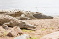 Kenian crocodiles Royalty Free Stock Images