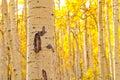 Kenosha Pass Aspen Tree Trunks Royalty Free Stock Photo