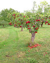 Kent apple orchard photo of juicy red apples growing in a country Stock Photography