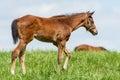 Kentucky horse foal in a Bluegrass Field Royalty Free Stock Photo