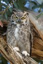 An ever viligant female great horned owl observes us as we admire her owlets Royalty Free Stock Photo