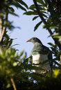 Kereru Royalty Free Stock Image