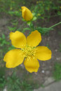 Kerria japonica twig with a flower and a flowerbud Royalty Free Stock Photos