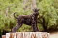 Kerry blue terrier puppy standing Royalty Free Stock Photo