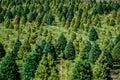 Kerstboomlandbouwbedrijf Stock Afbeeldingen