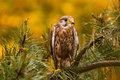 Kestrel alone on tree green Stock Photo