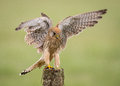 Kestrel bird landing on post
