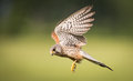 Kestrel bird of prey in flight male falco tinnunculus Royalty Free Stock Photography