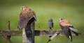 Kestrel Birds On Post