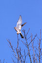 Kestrel falco tinnunculus taking off from tree top Royalty Free Stock Photo